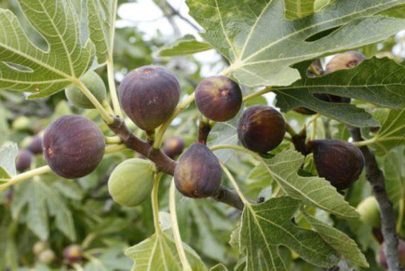 Смокини, Български смокини